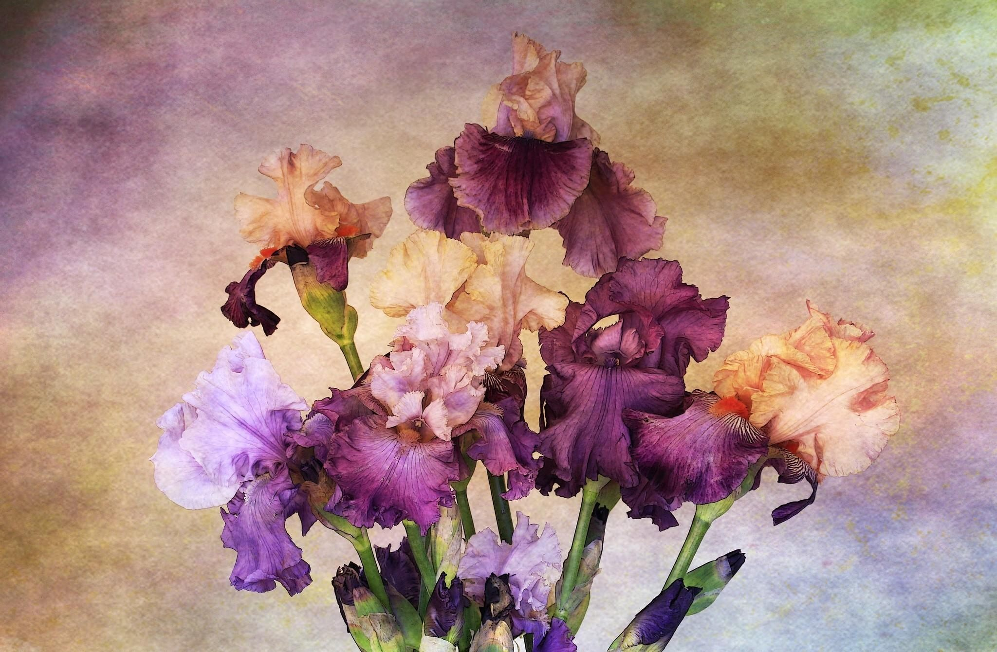 Iris flower painting 9778922 sciencemadesimplefo sms tagsiris flower meaning flower meaningiris flower symbolism amp the meaning of irises in theiris plant wikipediabirdandflower painting wikipedia izmirmasajfo